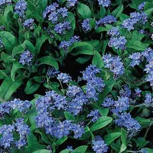 Plantation Products 41606 Forget Me Not Annual Cynoglossum