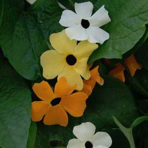 Plantation Products 41607 Thunbergia Annual Black Eyed Susan