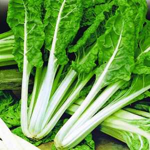 Plantation Products 41620 Swiss Chard Fordhook Giant1.99