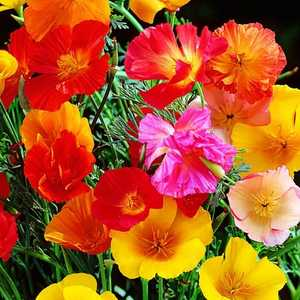 Plantation Products 41605 California Poppies Annual Mission Bells Mixed Colors
