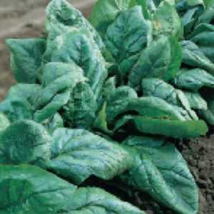 Plantation Products 41671 Spinach Bloomsdale Long Stand