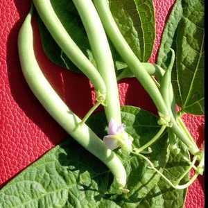 Plantation Products 41727 Tendergreen Improved Garden Bean