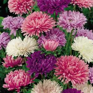 Plantation Products 41681 Aster Annual Powder Puff Mixed Colors