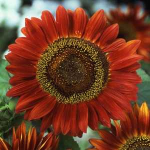 Plantation Products 41686 Velvet Queen Annual Sunflower