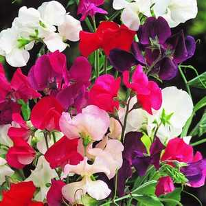Plantation Products 41688 Sweet Peas Jet Set Mixed Colors