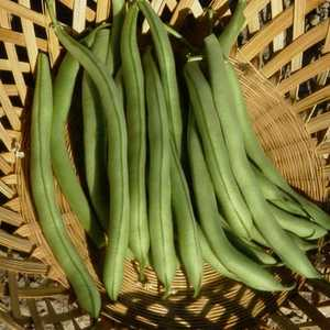 Plantation Products 41702 Contender Bush Garden Bean