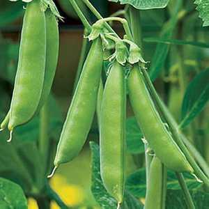 Plantation Products 41661 Sugar Snap Pea