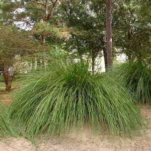 Greenleaf Nursery 2592.010.1 Breeze Lomandra #1 Pot