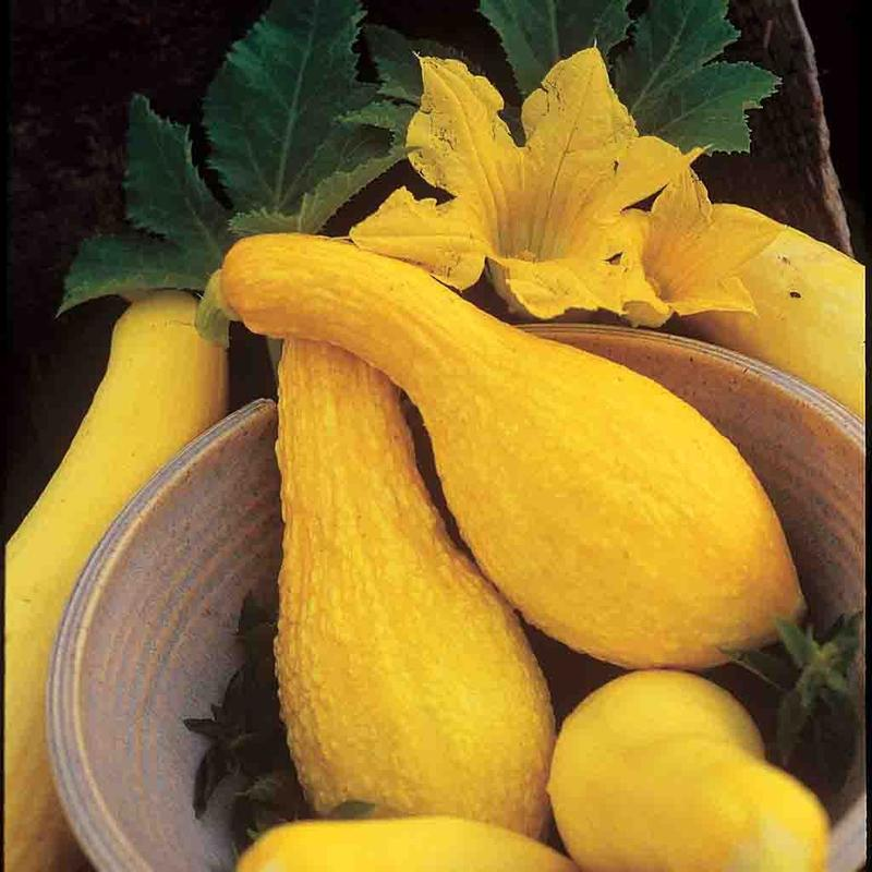 Plantation Products 3723 Squash Yellow Summer Crookneck