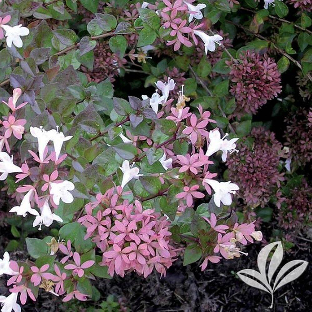 Greenleaf Nursery 1030.010.1 Rose Creek Abelia #1 At